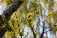Sophorae leaves. A Chinese and Japanese ornamental trees, with dark green leaves and panicles, with a yellowish white flowers Royalty Free Stock Images