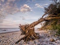 Soplado abajo de árbol en la playa Imagen de archivo libre de regalías