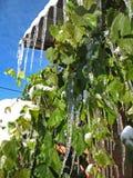 Sople na zielonych winogronach Obraz Stock