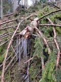 Sople przy końcówką spadać jedlinowy drzewo fotografia stock