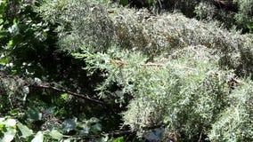 Soplo de los árboles de pino en fuerte viento almacen de video