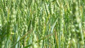 Soplo verde de los tallos del trigo en el viento almacen de video