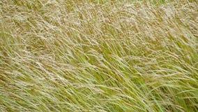 Soplos altos de la hierba en el viento en cierre del otoño para arriba almacen de metraje de vídeo