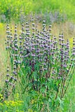 Sopnic tuber ( Latin Phlomis tuberosa). Is a perennial plant of the genus Sopnic (Phlomis) the deadnettle family (Lamiaceae). Wild-growing medicinal plant of Royalty Free Stock Photography