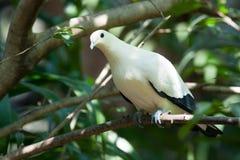 Soporte blanco del pájaro de la paloma en el árbol Fotografía de archivo
