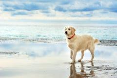 Soporte blanco joven del golden retriever en la orilla del mar foto de archivo