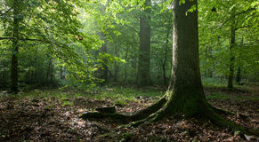 Soporte brumoso que alcanza ligero con el árbol spruce viejo Foto de archivo