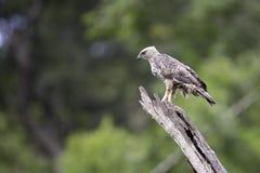 Soporte cambiable de Hawk Eagle en tocón en naturaleza Fotos de archivo libres de regalías