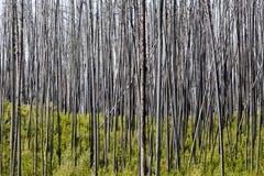Soporte de árboles quemados Foto de archivo libre de regalías