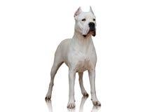 Soporte de Dogo Argentino en el fondo blanco Imagenes de archivo