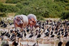 Soporte de dos hipopótamos en la costa del lago Fotos de archivo libres de regalías
