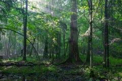Soporte de hojas caducas brumoso por mañana Fotos de archivo
