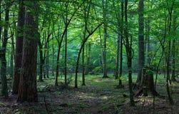 Soporte de hojas caducas del bosque de Bialowieza por mañana Foto de archivo