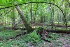 Soporte de hojas caducas natural en verano Foto de archivo