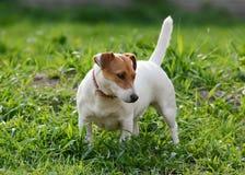 Soporte de Jack Russell Terrier en verano de la hierba Foto de archivo libre de regalías