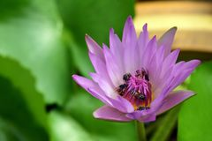 Soporte de la abeja en un loto Fotos de archivo