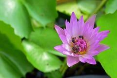 Soporte de la abeja en un loto Imagen de archivo libre de regalías