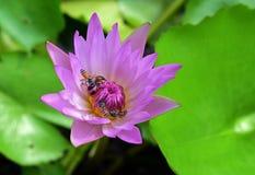 Soporte de la abeja en un loto Fotografía de archivo