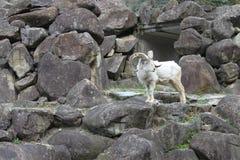 Soporte de la cabra de montaña en la roca de la montaña Foto de archivo