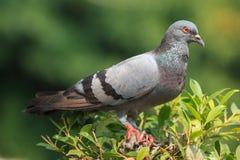 Soporte de la paloma en la copa Foto de archivo libre de regalías