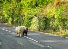 Soporte de las ovejas en el camino Imágenes de archivo libres de regalías