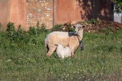 Soporte de las ovejas y del cordero en el campo fotos de archivo libres de regalías