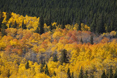 Soporte de los álamos tembloses de Colorado Foto de archivo