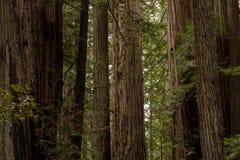 Soporte de los árboles de la secoya de costa Foto de archivo
