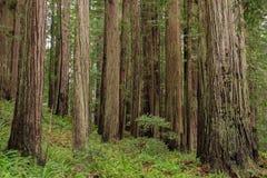 Soporte de los árboles de la secoya de costa Fotografía de archivo
