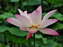 Soporte de Lotus solo Fotos de archivo libres de regalías