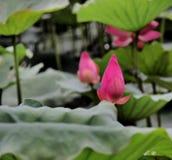 Soporte de Lotus solo Foto de archivo libre de regalías
