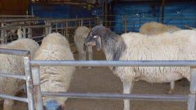 Soporte de pocas ovejas y heno tranquilos del chew metrajes