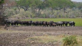 Soporte del búfalo en la orilla pisoteada de la charca con agua verde en la sabana africana metrajes
