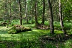 Soporte del bosque de Bialowieza con agua derecha Fotos de archivo