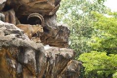 Soporte del cabra montés de Nubian en el acantilado Imágenes de archivo libres de regalías