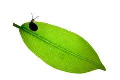 Soporte del caracol en la hoja verde recién nacida Imagen de archivo libre de regalías