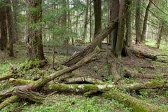 Soporte del humedal de la primavera del bosque de Bialowieza Imagen de archivo