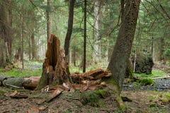 Soporte del humedal de la primavera del bosque de Bialowieza Foto de archivo