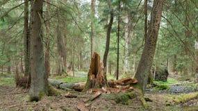 Soporte del humedal de la primavera del bosque de Bialowieza Fotografía de archivo