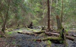 Soporte del humedal de la primavera del bosque de Bialowieza Imagenes de archivo