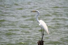 Soporte del pájaro de mar blanco en el lado del lago Imagen de archivo