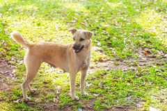Soporte del perro de Brown solamente en el parque Imagen de archivo