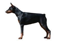 Soporte del perro del Doberman aislado Fotos de archivo