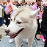 Soporte del perro en la tabla Foto de archivo libre de regalías