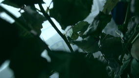 Soporte descolorado de las rosas de las flores en un florero almacen de video