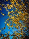 Soporte hermoso de la forsythia contra el cielo azul claro Imágenes de archivo libres de regalías