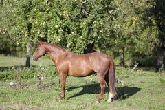 Soporte hermoso del caballo del cuarto de la castaña en prado Imagen de archivo libre de regalías