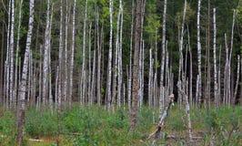 Soporte muerto del árbol de abedul en verano Fotos de archivo