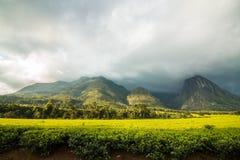 Soporte Mulanje en Malawi con la plantación de té imágenes de archivo libres de regalías