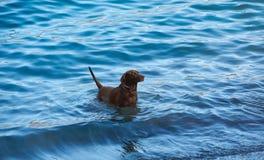 Soporte negro de Labrador en agua azul Foto de archivo